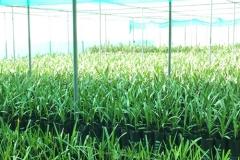 焦特布尔温室组织培养的枣椰树